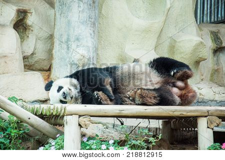 panda black and white lay down mammal animal