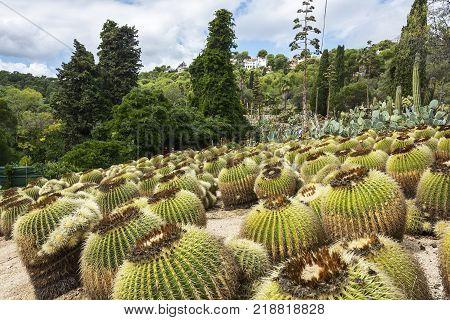 Cacti. Large cacti of round shape in the botanical garden