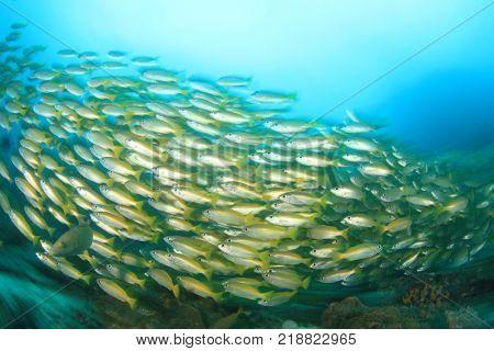 School yellow Bigeye Snapper fish on underwater coral reef