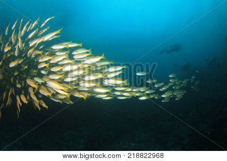School of yellow Bigeye Snapper fish with scuba divers in background