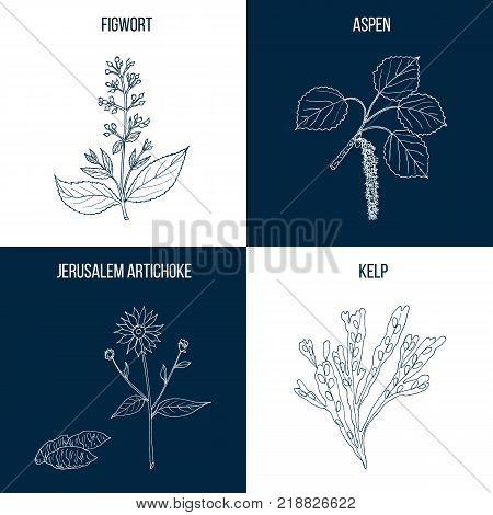 Vector collection of four hand drawn medicinal plants, figwort, aspen, jerrusalem artichoke, kelp