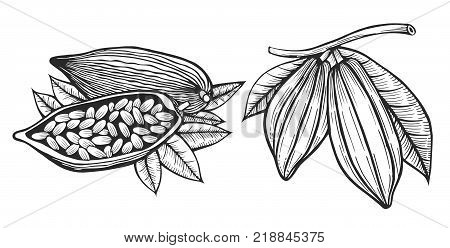 Engraved style illustration Cocoa beans illustration. Chocolate cocoa beans. Vector illustration