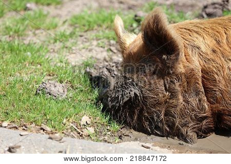 Kunekune Pig (Sus scrofa domesticus) in the Mud