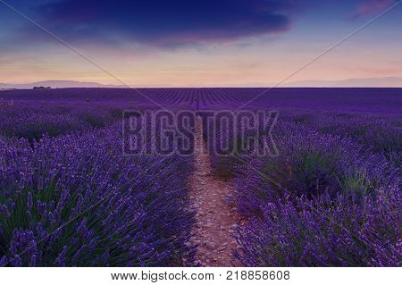 Beautiful colors purple lavender fields near Valensole Provence in France