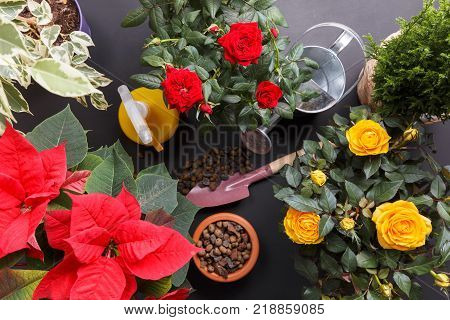 In the photo the house plants Rose Star Chamaecyparis Poinsettia and Ficus benjamina for cultivation in your home garden. There are tools for caring for house plants.
