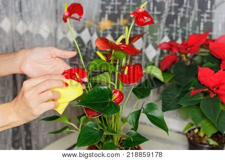 Wiping leaves is an important procedure for caring for house plants in the home garden. In the photo the girl wipes the leaves of the blooming Anthurium.