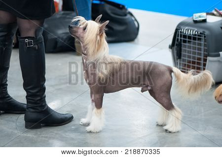 Chinese crested dog at the exhibition on a trip stands and looks at the owner