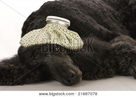 sick dog - standard poodle with water bottle on head