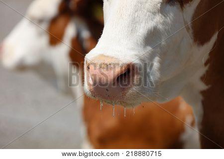 Closeup shot of a Cow in Allgau. Germany