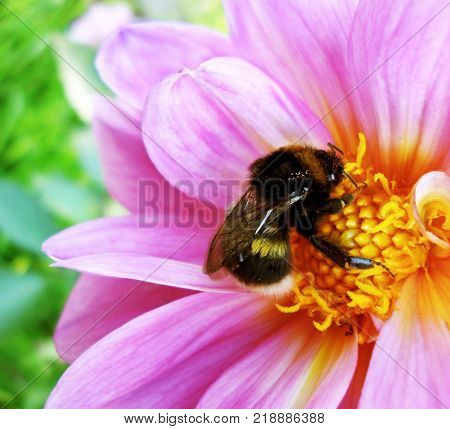 Bumblebee pollinating floret. Scenic, colorful picture of bumble bee on pink flower, close up.