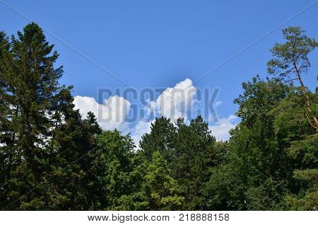 Green conifer tree and blue sky with clouds