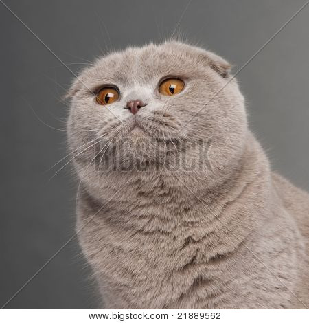 Close-up of Scottish Fold cat, 9 and a half months old, in front of grey background poster