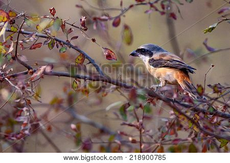 Beautiful a adult Long-tailed shrike or rufous-backed shrike know as Lanius schach perches on the small branch in Ranthambore National park, Rajastan, India