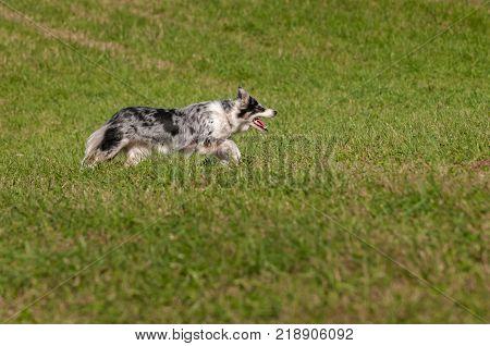 Stock Dog Runs Right - at sheep dog herding trials