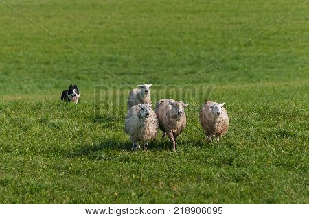 Stock Dog Runs In Behind Group of Sheep (Ovis aries) - at sheep dog herding trials