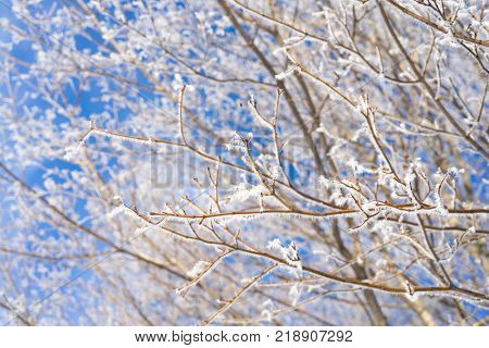 Maple tree branches covered with hoar frost.