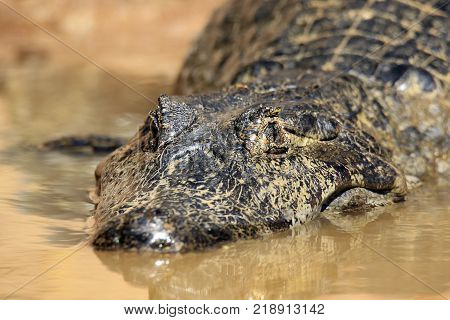 Close-up of a Spectacled Caiman in Water. Rio Claro Pantanal Brazil
