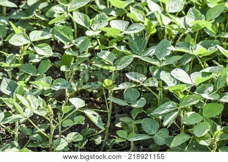 Soy field. Cultivation of soy in an open ground on fields of Kuban. Midge in the leaves of soy.