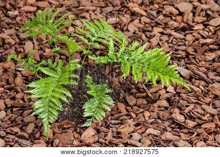 closeup of Asplenium bulbiferum fern growing on mulched soil