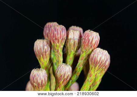 Flower Of A Sugarbush (protea Sp.)