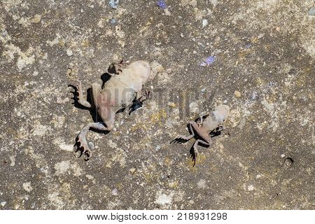 Two dead Common toads lie on the old concrete surface with a belly up (Bufo bufo)