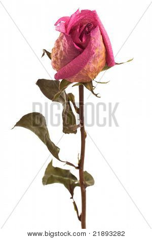 pink dry rose on a white background