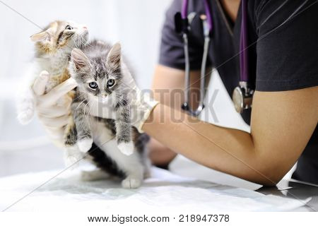 Young female veterinary doctor looking on cute kitten. Cat in a veterinary clinic. Veterinarian surgeon at vet clinic is examining cute cats