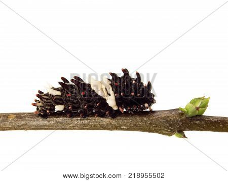 A caterpillar of the Chinese windmill butterfly, Atrophaneura or Byasa alcinous, creeps along a tree branch. The caterpillar is isolated on white. It is a larva of a beautiful swallowtail butterfly.