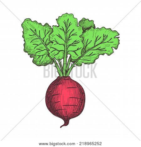 Fresh beet hand drawn icon. Natural vegetable sketch, organic food object, vegetarian meal vector illustration isolated on white background.