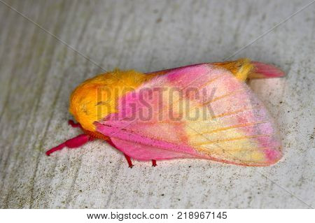 Rosy Maple Moth (Dryocampa rubicunda) sits on a wall in central Florida