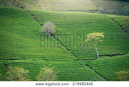 Lonely tree between green tea hill as a highlight for agricultural richness tea. This tea plantation existed for over a hundred years old and largest tea supplies in the region and exporting