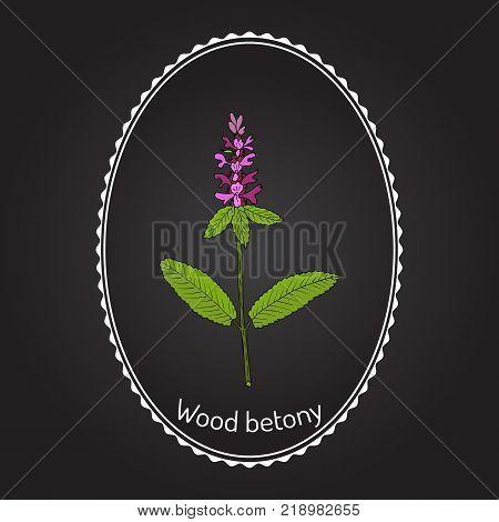 Wood betony Stachys officinalis , or common hedgenettle, bishopwort, medicinal plant. Hand drawn botanical vector illustration