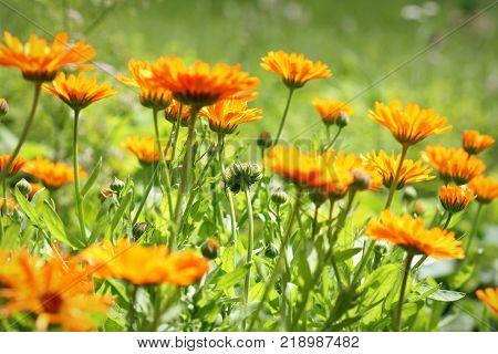Orange pot marigold bloosom - Calendula officinalis field .