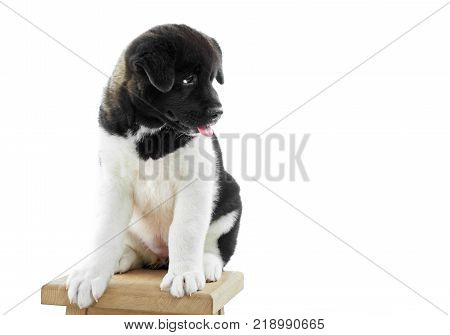 Studio close-up of a little american s akita puppy sitting on the wooden chair. It s fur is white with black spots, veru soft and fluffy. A puppy is a symbol of a next 2018 Earth Dog s year.