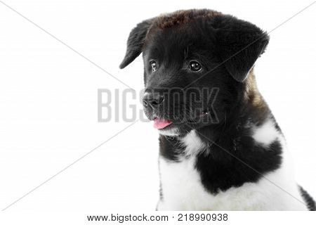 Nice close-up of the american s akita puppy, made in a studio with white background. It has soft, fluffy fur with white and black spots , cute rosy tongue and little wet nose. Puppy is a symbol of 2018 year.