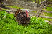 Thick turkey on the green grass in front of the fence. Thanksgiving turkey is alive. House-bird at the gate. Funny turkey in the yard. Rural life in the countryside poster