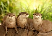 A group of European Otters on a tree stump poster