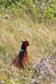 Pheasant male bird walking in the bushes poster