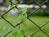 Close up a plant on rusty metal chain link fence wire poster