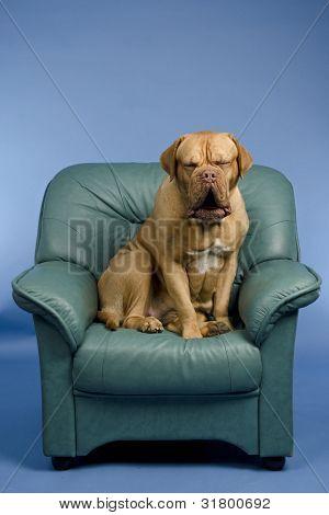 Cute dog on a arm-chair yawning