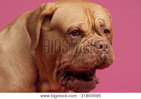 Yawning dog of Dogue De Bordeaux breed