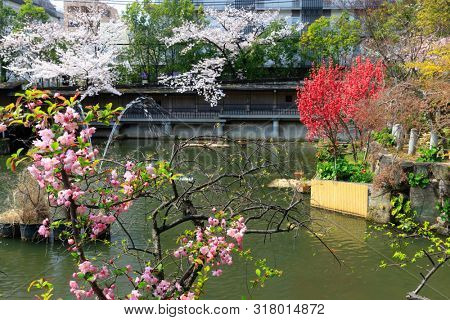 Vibrant peach tree flowers in a traditional ornamental garden in Kobe, Japan