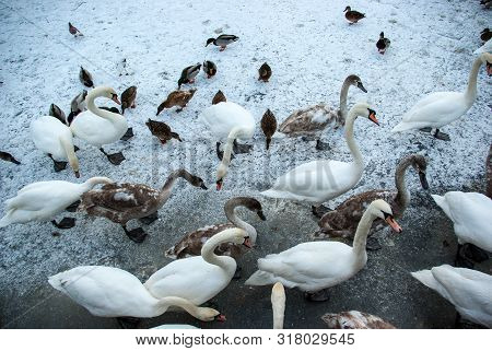 Feeding Swans And Ducks And Other Wildfowl In Winter