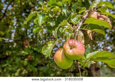 Closeup Of Two Ripening Apples On A Twig Of An Apple Tree In In A Dutch Nature Reserve. The Photo Wa