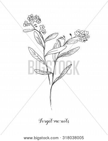 Vector Outline Forget Me Not Or Myosotis Flower, Bud, Leaves And Bunch In Black Isolated On White Ba