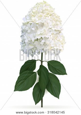 Hydrangea Paniculata Limelight In Late Summer, High Quality Detailed Illustration On A White Backgro