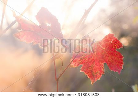 Fogy Red Vine Leaves In Autumn Sunset