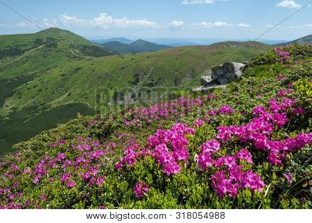 Blossoming Slopes (pink Rhododendron Flowers In Front ) Of Carpathian Mountains, Chornohora,  Ukrain
