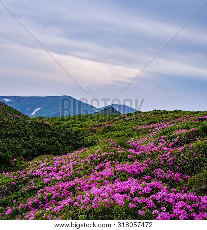 Pink Rose Rhododendron Flowers (in Front) On Summer Evening Mountain Slope. Carpathian, Chornohora,