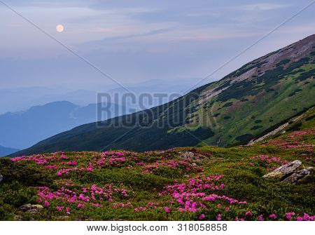 Pink Rose Rhododendron Flowers On Evening Twilight Summer Mountain Slope. And Full Moon In Sky. Carp